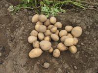 Perspektywy nowoczesnej ekologicznej produkcji ziemniaka Cz III