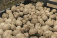 Perspektywy rozwoju nowoczesnej ekologicznej produkcji ziemniaka Cz II
