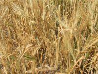 Agrotechnika jęczmienia jarego na paszę