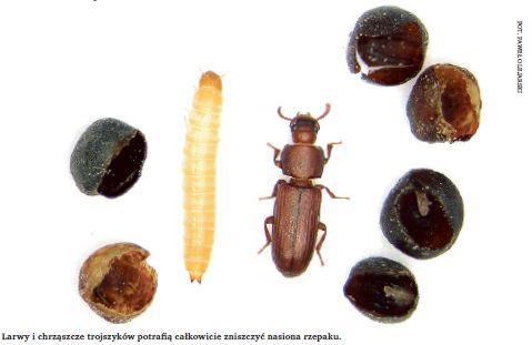 Larwy i chrząszcze trojszyków potrafią całkowicie zniszczyć nasiona rzepaku.