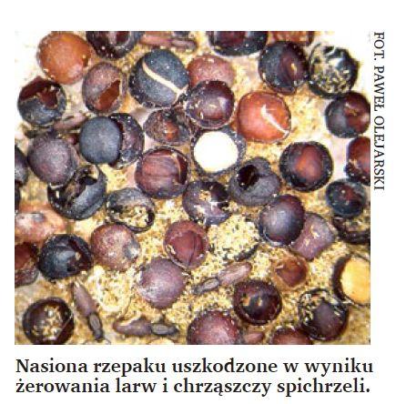 Nasiona rzepaku uszkodzone w wyniku żerowania larw i chrząszczy spichrzeli.