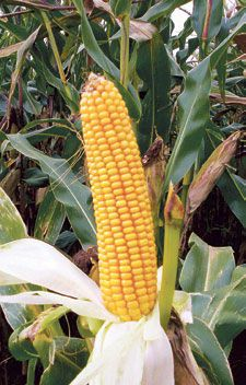 Nawozy naturalne pod kukurydzę