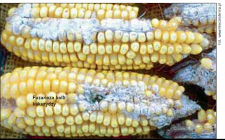 Na co choruje kukurydza?
