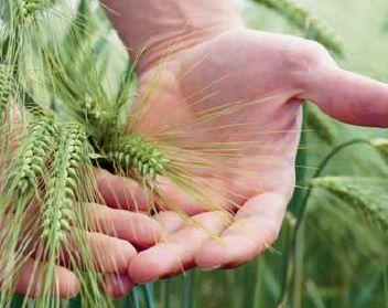 Jak osiągnąć sukces w uprawie jęczmienia?