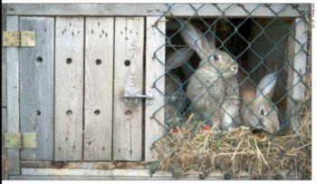 Wirus zabijający króliki